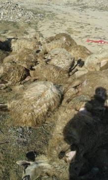 Gece ağıla giren kurtlar 25 koyunu telef etti