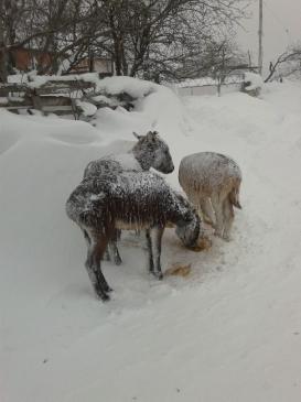 Soğuktan Buz Tutan Eşeklere Muhtarlık Sahip Çıktı