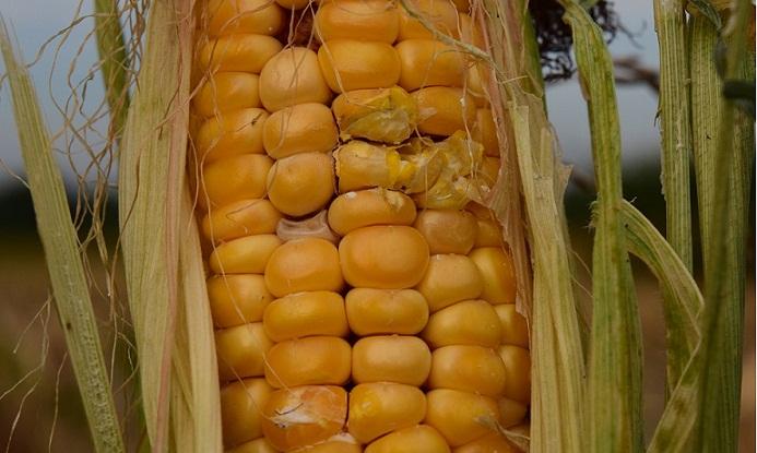 Eskil, danelik mısır destekleme kapsamına alındı