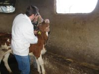 Küpesiz Hayvanların Küpelenmesi İçin Yeni Bir Şans Verildi